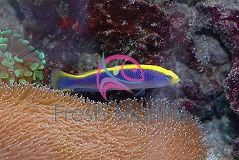 Flavivertex Dotty back Fish - Pseudochromis flavivertex - Sunrise Dottyback Fish