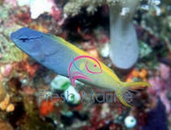 Forktail Blenny - Meiacanthus atrodorsalis - Yellowtail Fang - Lyretail Fang Blenny