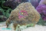 Galaxy Coral - Galaxea species - Tooth Coral - Crystal Coral - Galaxy Coral - Moon Coral - Star Coral