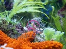 Glass Anemone Shrimp - Periclimenes brevicarpalis - Pacific Clown Anemone Shrimp