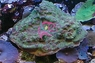 Green Eyed Cup Coral - Mycedium species - Elephant Nose Coral - Peacock Coral