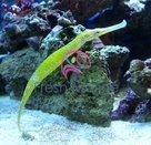 Green Pipefish - Corythoichthys intestinalis - Pipefish - Green Pipe Fish