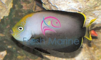 Grey Poma Angelfish - Chaetodontoplus melanosoma - Black Velvet Angel Fish