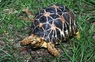 Indian Star Tortoises (Adult) - Geochelone Elegans