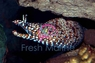 Japanese Dragon Eel - Enchelycore pardalis - Dragon Eel