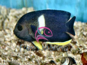 Keyhole Angelfish - Centropyge tibicen - Keyhole Angel Fish - Pygmy Angel