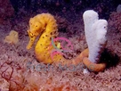 Kuda Seahorse - Hippocampus kuda - Kuda Colored Sea Horse