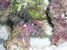 Lawnmower Blenny - Salarias fasciatus - Jeweled Rockskipper - Rock Blenny - Jeweled Blenny