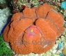 Lobophyllia Brain Coral - Assorted Color - Lobophyllia species - Open Brain - Carpet Brain Coral - Flat Brain Coral - Flower Coral