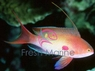 Lyretail Red Male Anthias - Pseudanthias squamipinnis - Scalefin Anthias - Jewel Lyretail Anthias