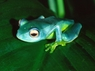 Madagascar Starry Nite Tree Frog