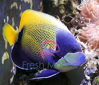 Majestic Angelfish Euxiphipops Navarchus Pomacanthus Bluegirdled Angel Fish