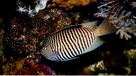 Male Japanese SwallowTail Angelfish - Genicanthus melanospilos - Blackspot Angel Fish