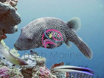 Mappa Puffer - Arthron mappa - Scribbled Arothron Puffer - Scribbled Toadfish - Map Puffer