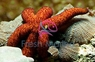 Marble Sea Star - Fromia species