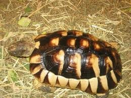 Marginated Tortoises (Adult) - Testudo marginata