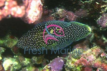 Marine Betta Grouper - Calloplesiops altivelis - Comet Grouper Fish