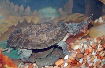 Mata-Mata Turtles - Chelus fimbriata - Mata Mata Turtles