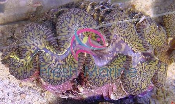 Maxima Clam Colored - Tridacna maxima