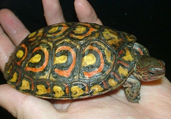 Mexican Red Wood Turtles - Rhinoclemmys pulcherrima incisa - Mexican Red Turtles