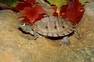 Mississippi Map Turtles - Graptemys pseudogegraphica kohnii - Mississippi Turtles