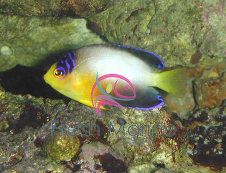 Multicolor angelfish centropyge for Fish compatible with angelfish