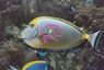 Naso Blonde Tang (Male) - Naso lituratus - Blonde Naso