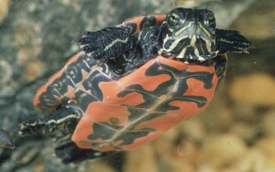 Freshmarine Com Northern Red Bellied Turtles Pseudemys