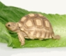 One of a Kind Baby Sulcata Tortoises - Unique Extra Scutes