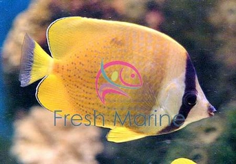 Orange Butterfly Fish - Chaetodon kleini - Brown Butterflyfish - Klein's Butterflyfish