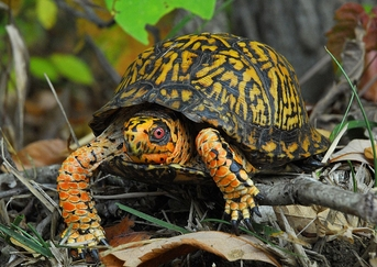 Orange Eastern Box Turtle - Terrapene carolina - Eastern Turtle