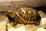 Ornate Box Turtles - Terrapene ornata - Western Box Turtle