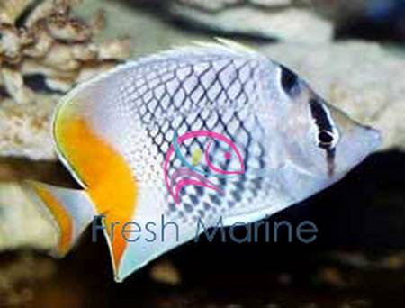 FreshMarine.com - Pearlscale Butterfly Fish - Chaetodon ...