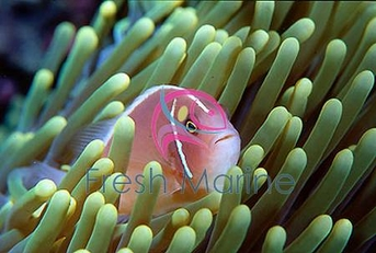 Pink Skunk Clown Fish - Amphiprion perideraion - Pink Anemonefish - Pink Skunk Clownfish