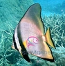 Pinnatus Batfish - Platax pinnatus