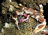 Porcelain Crab - Neopetrolisthes species