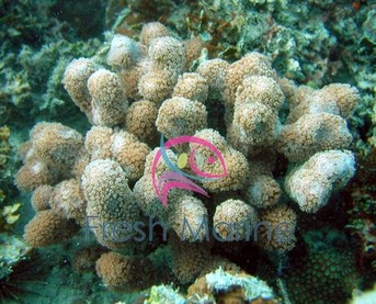 Porites Coral - Porites species - Finger Coral - Honeycomb Coral - Jeweled Finger Coral