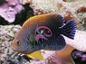 Potter's Angelfish - Centropyge potteri - Potter's Angel Fish