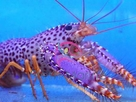 Purple and Orange Lobster - Enoplomentopus debelius - Red Lobster - Debelius Reef Lobster