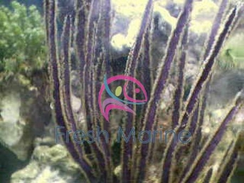 Purple Ribbon Gorgonia - Gorgonia species - Sea Rod - Sea Whip - Sea Blade