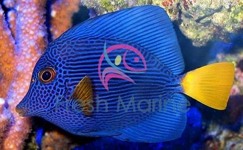 Purple Tang - Zebrasoma xanthurus - Yellowtail - Purple Sailfin Tang