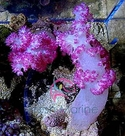 Red Carnation Coral - Dendronephthya species - Carnation Soft Coral - Christmas Tree Coral - Strawberry Coral - Tree Coral