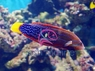 Red Coris Wrasse (Adult) - Coris gaimard - Yellowtail Coris - Red Coris