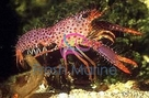Red Lobster - Enoplometopus species - Hawaiian Reef Lobster