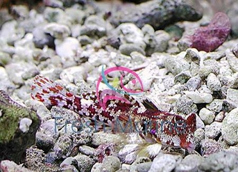 Red Scooter Dragonet Blenny - Synchiropus stellatus - Starry Dragonet - Stellate Dragonet