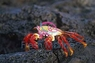Sally Lightfoot Crab - Percnon gibbesi - Sally Light Foot Crab