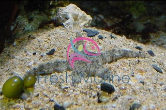 Sand Sifting Sea Star - Astropecten polycanthus - Sand Sifting Starfish
