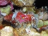 Saron Shrimp - Saron marmoratus - Common Marble Shrimp
