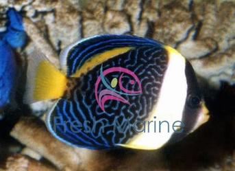 Scribbled Angelfish - Chaetodontoplus duboulayi - Scribbled Angel Fish