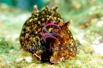 Sea Hare - Aplysia punctata